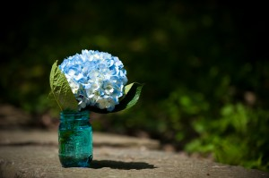 Blue hydrangeas in mason jar